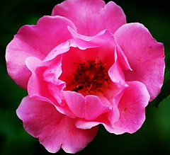 (ulli_p) Tags: flowers macro nature d50 colours blossoms nikond50 picturesque inspiredbylove flowerscolors flowerpicturesnolimits macrophotosnolimits magicofaworldinmacro flowerwatcher imagesofharmony floweria unlimitedphotos mimamorflowers auniverseofflowers