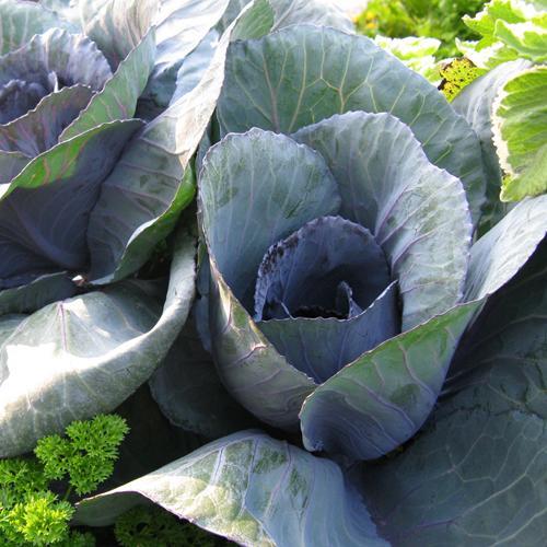 Cabbage #1