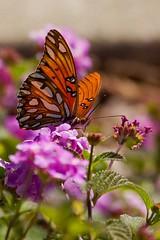A beautiful Gulf Fritillary in my front yard (Hockey.Lover) Tags: butterfly alamedacounty gulffritillary myfrontyard