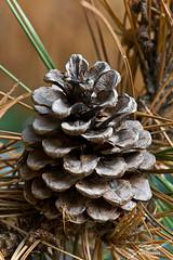 Pine Cone in Repose