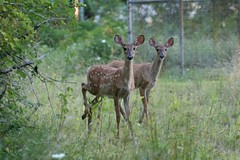 Fawns (whitetailman12) Tags: deer fawns whitetail