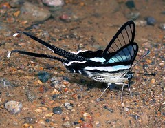 Aceh butterfly - Lamproptera meges meges (Mangiwau) Tags: blue butterfly insect sumatra indonesia aloe rainforest wing jungle minerals mineral northern aceh exploration lattice sumatran barat sumatera darussalam pidie atjeh nanggroe geumpang woyla lamproptera meges