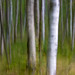 Birch Trees by From 10 to 300mm
