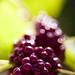 Japanese Bokeh Berries