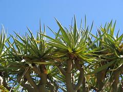 Dragon Blood foliage (cskk) Tags: tree gardens garden blood dragon sydney australia foliage fallen nsw botanic draco royalbotanicgardens dracena dragonblood rbgsyd dragonbloodtree dracenadraco