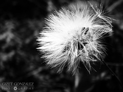Dientes de Leon en B&W (★☆Gigi☆★) Tags: bw naturaleza white black flores detalle flower detail macro blancoynegro blanco nature negro flor bn leon dientes peluda dientesdeleon ltytr2 ltytr1