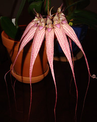 Bulbophyllum Louis Sander - smells of week old gym socks...