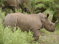 Baby White Rhinoceros