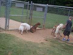 Happy at the Dog park (jumpyfrog0506) Tags: park dog white cute male happy fluffy american eskimo