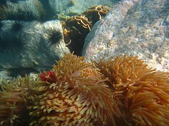 Pink Anenome Fish 1