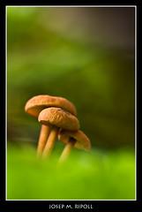 _IGP7736-Edit (JM Ripoll) Tags: forest mushrooms spain girona bosque fungus funghi macros pilze wald svamp arbucies mycology pilz champignons setas fong bosc foresta cogumelos fungo bolets micologia mikologia onddo perretxikoak micología mycologie pilzkunde foraoise