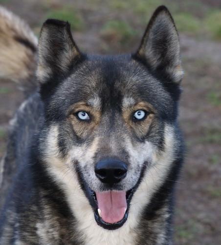 Favorito Interminabile viaggio a Budapest Echo Crying Wolf - Wolfdog.org  MZ34