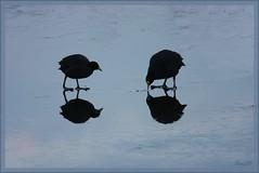 21jan09: meerkoet met jong, dat nog steeds om voedsel bedelt.... (guus timpers) Tags: winter ice frozen bevroren kanaal ijs meerkoet moorhen almelo twentekanaal abigfave