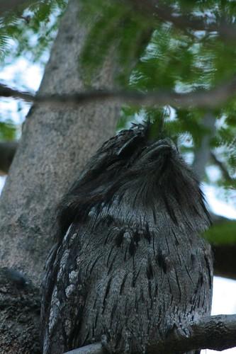 Podargus strigoides