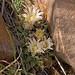 Mammillaria meiacantha (Nipple Cactus)