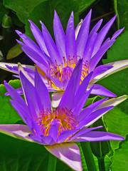 Two Lillies I (Daniel Schwabe) Tags: brazil flower water yellow brasil riodejaneiro purple lilly jardimbotânico botanicalgardens fantasticflower