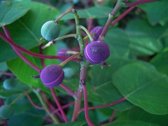 Homalanthus populifolius 6 (barryaceae) Tags: zamia place reserve forster australianrainforestplants australian rainforest plants species new south wales australia ausrfps euphorbiaceae