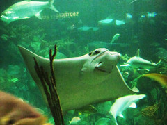 Smile (bellydnce1103) Tags: fish chicago green water smile swimming illinois tank yeah stingray sharks hehe chillen sheddaquarium
