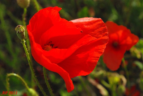 Coquelicot dans le vent / Poppy In The Wind