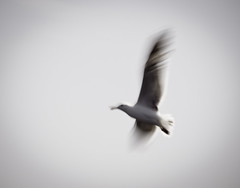 be my messenger (Minghua Nie) Tags: icm movement bird fly flying messenger ghost communication belief love imagination expression impression onthewings minghua nie intentionalcameramovement dream dreamy seasick