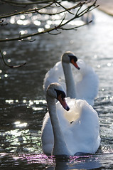Swans (Hugobian) Tags: park bird nature birds st river swan wildlife swans british albans iver wildfowl verulamium