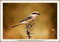 Isabelline Shrike (Hamad Al-meer) Tags: life red wild tree bird canon eos desert zoom wildlife 400 hd kuwait hamad shrike 30d 100400    isabelline     betterthangood hamadhd hamadhdcom  wwwhamadhdcom