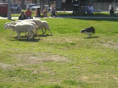 sheepherding_bordercollie