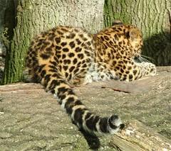 Back view (Helena Pugsley) Tags: animal cat cub leopard bigcat marwell amurleopard kiska marwellzoo flickrchallengewinner 15challengeswinner marwellwildlife