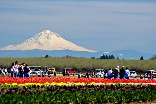 Mt. Hood in the background of the Wooden Shoe Tulip Festival in Woodburn, Oregon