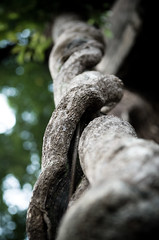 climbing the beanstalk (Os Sutrisno) Tags: tree forest vines nikon roots d300 1755mm28 myfacebook
