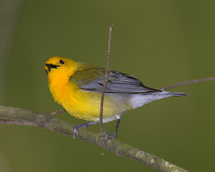 Prothonontory Warbler  (Male) (William  Dalton) Tags: bird nature yellow warbler endangeredspecies warblers yellowbirds prothonotarywarbler protonotariacitrea yellowbird featheryfriday impressedbeauty endangeredbirds