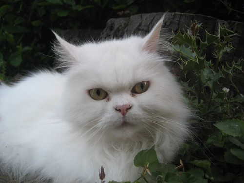 Moody white cat