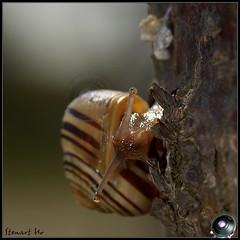 Snail (Stewart Ho) Tags: nature shell snail globalwarming naturesfinest artisticexpression platinumphoto anawesomeshot impressedbeauty ysplix justhitmewithyourbestshotjune2008photoofthemonthcontestant