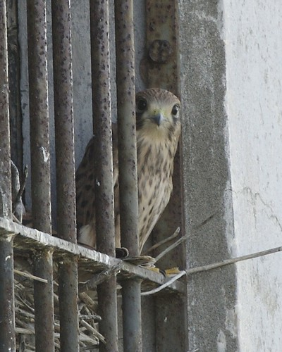 Common kestrel - female