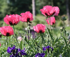Hot Pink Poppies (JKissnHug - Been busy birding) Tags: annarbor poppies macrophotography matthaeibotanicalgardens canonef100mmf28macrousm michiganflowers upclosephotography