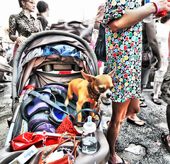 HonFest Guarddog (` Toshio ') Tags: people woman dog chihuahua puppy person bottle eyes women colorful dress stroller maryland baltimore hairspray beehive hampden hdr hon hairdoo toshio honfest aplusphoto