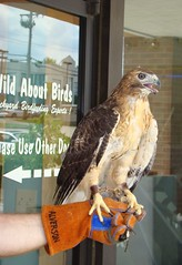 Scarlet at Wild About Birds