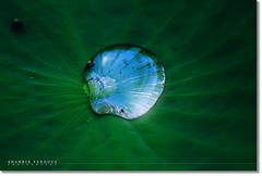A Drop of Sky (Shabbir Ferdous) Tags: blue sky green art nature water photographer lotus bangladesh greenleaf bangladeshi barisal canoneosrebelxti shabbirferdous sigmazoomtelephoto70300mmf456apodgmacro wwwshabbirferdouscom shabbirferdouscom