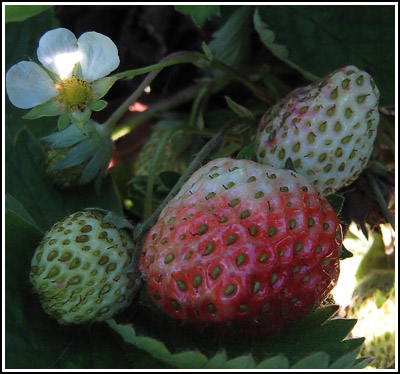 strawberries copy