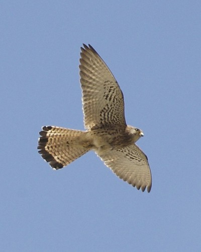Lesser Kestrel (Falco naumanni) by Lip Kee.