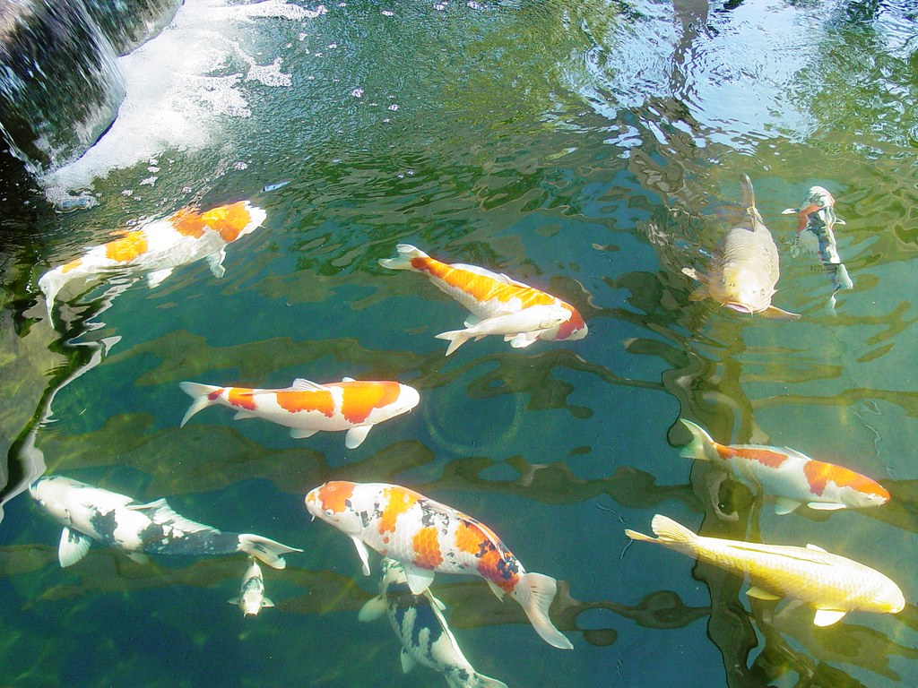 The world 39 s best photos of fish and upland flickr hive mind for Biggest koi fish