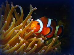 Clownfish!