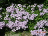 Arkansas Traveler phlox