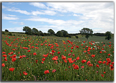 Memories of warriors (DDA / Deljen Digital Art) Tags: uk trees red england nature field landscape farming memories alnmouth poppy crops warriors foxton popies northumbrland