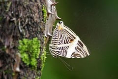 The Mosaic or Dirce Beauty butterfly - Costa Rica (natural born hikers) Tags: butterfly costarica wildlife butterflies insects tropical centralamerica coloburadirce dircebeauty themosaic wwwnaturalbornhikerscom wwwnbhtravelcom naturalbornhikers scydread tpickering