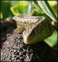 Eidechse Rudi in unserem Garten (normandie2005_horst Moi_et_le_monde) Tags: macro nature animal animals geotagged tiere natur lizard geotag herp reptiles tier lézard reptil eidechse