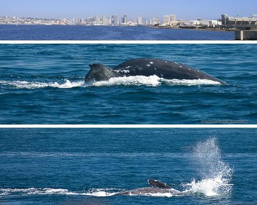san diego whales