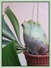 Platycerium bifurcatum (Staghorn/Elkhorn Ferns)