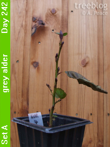 grey alder No. 4 (Day 242)