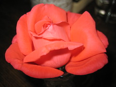 Summer rose, coral